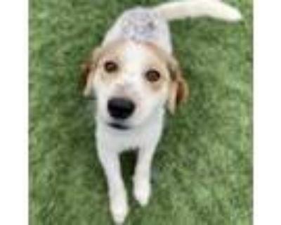 Adopt Hokey Pokey a White - with Tan, Yellow or Fawn Spaniel (Unknown Type) /