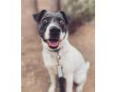 Adopt Darcey a White - with Black Beagle / Jack Russell Terrier / Mixed dog in