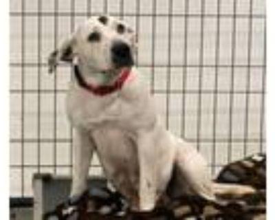 Adopt Missy a Labrador Retriever, Mixed Breed