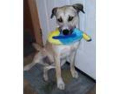 Adopt Corona a Tan/Yellow/Fawn - with Black Mastiff / Shepherd (Unknown Type) /
