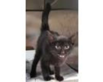 Adopt Army a All Black Domestic Shorthair / Domestic Shorthair / Mixed cat in