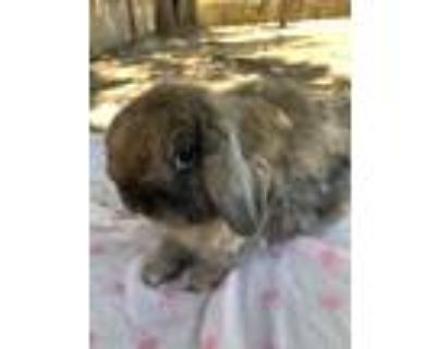 Adopt Henry a Holland Lop, Cinnamon