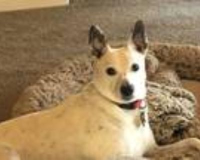 Adopt Annie a White - with Black Dalmatian / Jack Russell Terrier / Mixed dog in