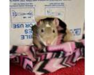 Adopt Ollie (and Noodle) a Rat