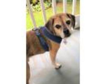 Adopt Bode a Pug, Beagle