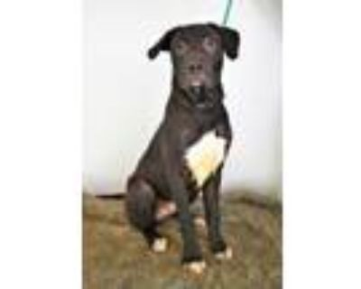 Adopt Peep a Black American Pit Bull Terrier / Mixed dog in Cabot, AR (31312909)