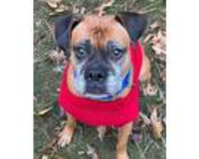 Adopt Nala a Boxer / Mastiff dog in Atlanta, GA (30079986)