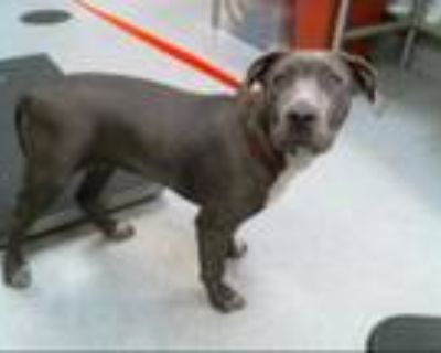 Adopt AVA a Pit Bull Terrier, Mixed Breed