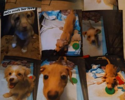 Selling 8 Terrier Mix Caine Puppies 4 Boys and 4 Girls