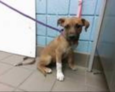 Adopt GUCCI a Brown/Chocolate - with White Labrador Retriever / Mixed dog in