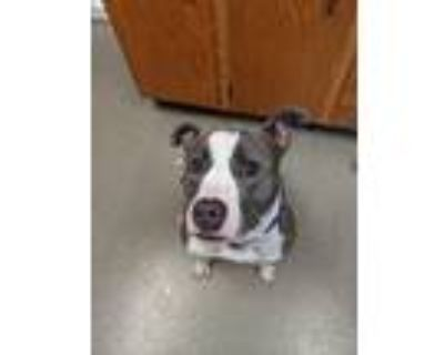 Adopt Angelique a American Pit Bull Terrier / Mixed dog in Birdsboro