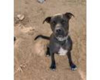 Adopt Lucky a Black Pit Bull Terrier / Mixed dog in San antonio, TX (29412086)