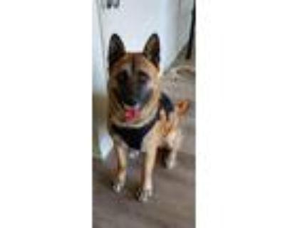 Adopt Hakan a Akita, Belgian Shepherd / Malinois