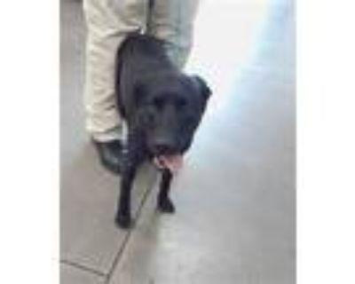 Adopt MASON a Black - with White Labrador Retriever / Mixed dog in Mesa