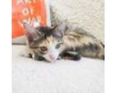 Adopt Danni Lynn a Calico or Dilute Calico Domestic Mediumhair / Mixed cat in