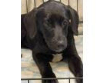 Adopt Angelique a Labrador Retriever