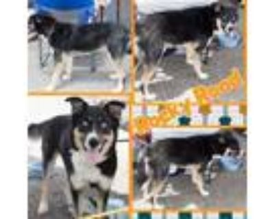 Adopt Rocky road a Collie