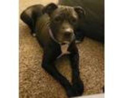 Adopt Gaia a Pit Bull Terrier