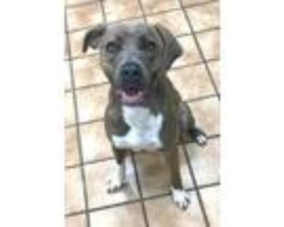Adopt MAISY a Brindle - with White Labrador Retriever / Mixed dog in