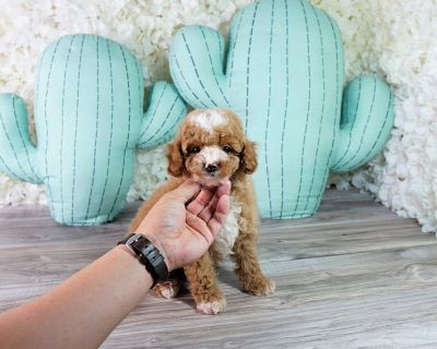 Cockapoo poodle puppy