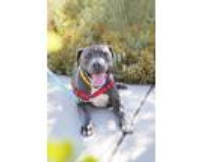 Adopt Vincent a Pit Bull Terrier