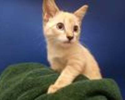 Adopt APHRODITE a Cream or Ivory (Mostly) Siamese / Mixed (short coat) cat in