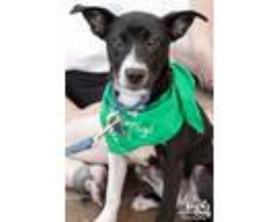 Adopt Dixie a Black - with White Shepherd (Unknown Type) / Mixed dog in