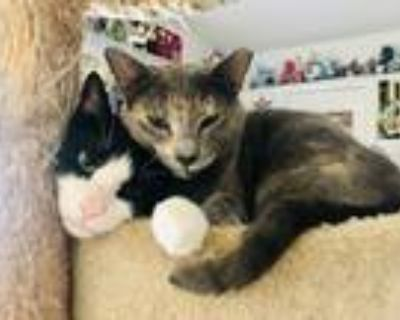Adopt Daphne a Gray or Blue (Mostly) Domestic Shorthair (short coat) cat in
