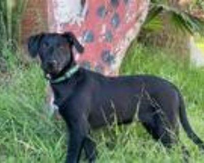 Adopt Nelson a Retriever, Labrador Retriever