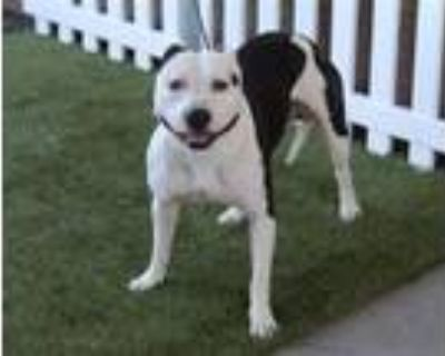 Adopt A554369 a Pit Bull Terrier, Mixed Breed