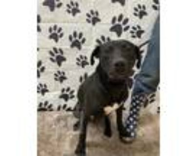 Adopt LOUIE a Black American Pit Bull Terrier / Mixed dog in Chicago Ridge