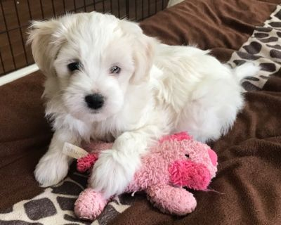 1 Male Maltese Poodle Mix DOB 1/22/21