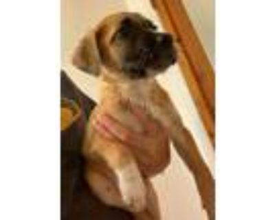 Adopt Cloud a Brown/Chocolate - with Black Cattle Dog / Mixed Breed (Medium) /