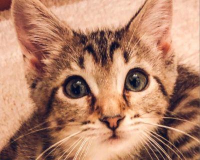 Gilly - Domestic Shorthair - Kitten Female