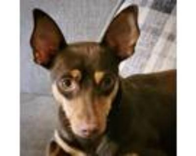 Adopt Beans (GA) a Brown/Chocolate - with Tan Rat Terrier / Mixed dog in