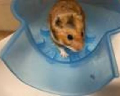 Adopt Spider-Man a Tan or Beige Hamster / Mixed small animal in Boulder