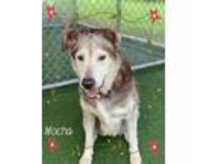 Adopt MOCHA a Husky