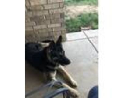 Adopt Journey a Black - with Tan, Yellow or Fawn German Shepherd Dog / Mixed dog