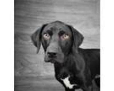 Adopt Magnolia a Labrador Retriever, Catahoula Leopard Dog