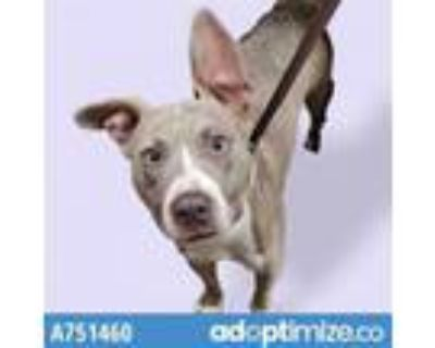 Adopt CAROL* a Pit Bull Terrier, Mixed Breed