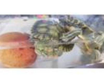Adopt A089337 a Turtle