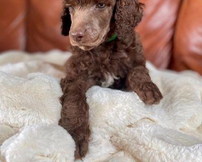 AKC Standard Poodle Puppies