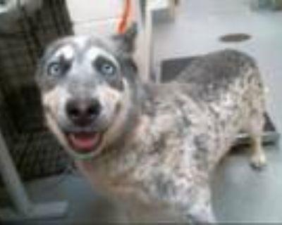 Adopt AZUL a Australian Cattle Dog / Blue Heeler, Husky