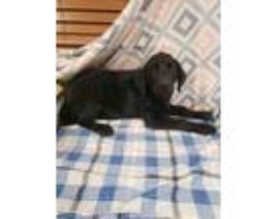 Adopt Elmer a Black Labrador Retriever / Mixed dog in West Chester
