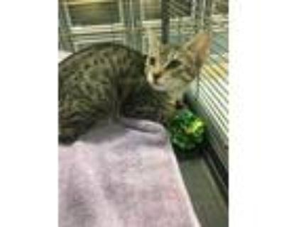 Adopt LILY a Domestic Short Hair