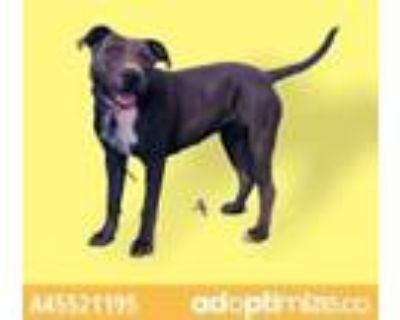 Adopt Zola a Brown/Chocolate American Pit Bull Terrier / Mixed dog in El Paso