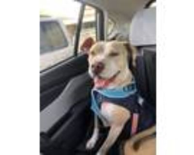 Adopt Nusta a Tan/Yellow/Fawn - with White Jack Russell Terrier / Pit Bull