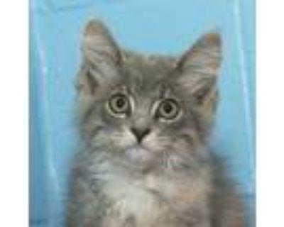 Adopt Aurora a Calico or Dilute Calico Domestic Mediumhair (medium coat) cat in
