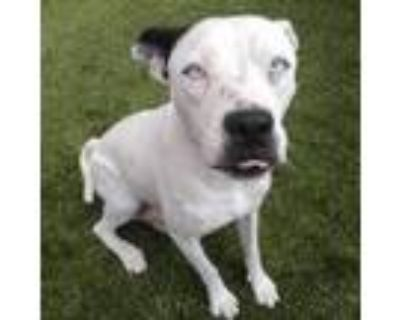 Adopt Miley a White Border Terrier / Mixed dog in Merriam, KS (32127905)
