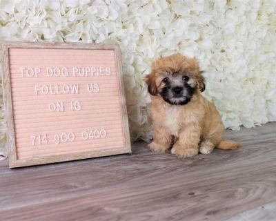 Shih-poo shihtzu poodle puppy